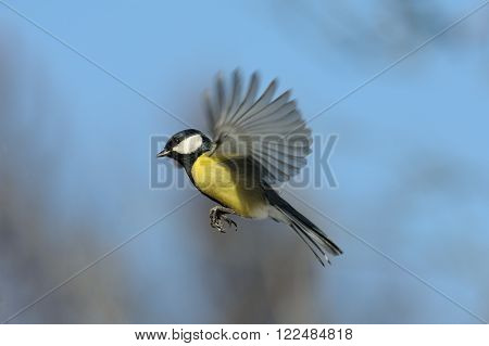 Flying Great tit (Parus major) against blue sky background