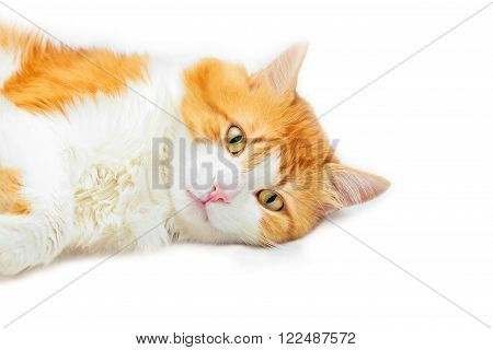Beauty brooding red cat lies on white background