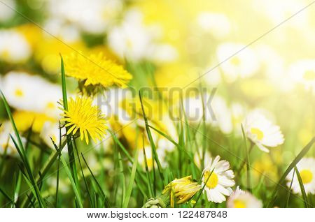Dandelion yellow flowers and daisy growing on the meadow in spring time on the green grass with sun rays