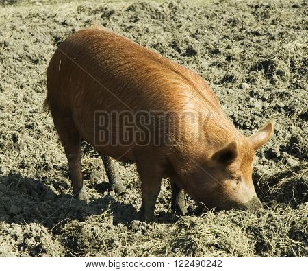 tamworth pig feeding in the mud of the sty on a sunny day