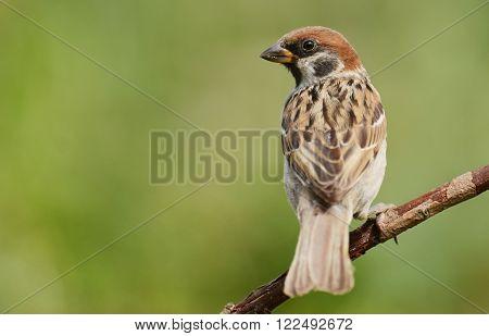 Tree sparrow in natural habitat (Passer montanus)