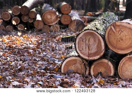 Cut down wood logs stack lies in autumn forest