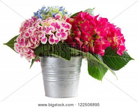 bunch of pink and blue hortensia flowers in pot isolated on white background