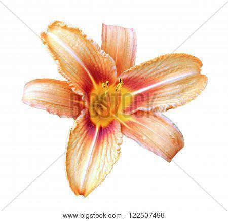 Orange daylily flower isolated on a white background