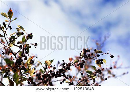 Black chokeberry (Aronia melanocarpa) autumn branches against white and blue sky