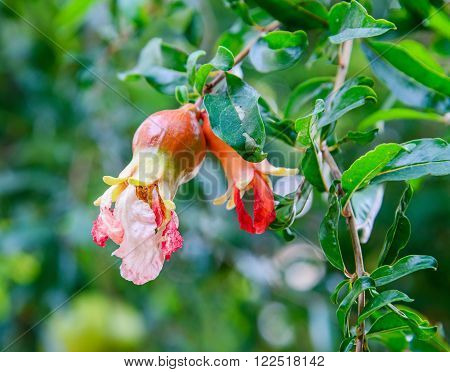 Red Flowers On Pomegranate Tree