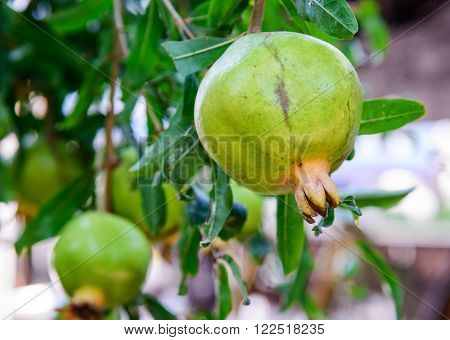 Green Pomegranate On The Branch. The Foliage On The Background.
