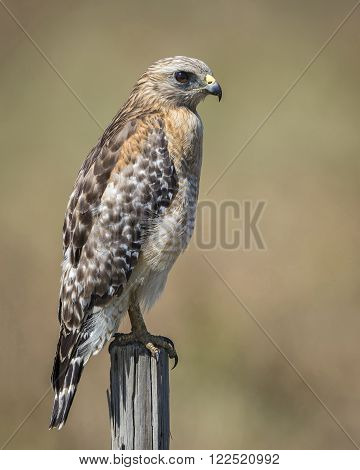 Red-shouldered Hawk Perched On A Wooden Fence Post - Florida