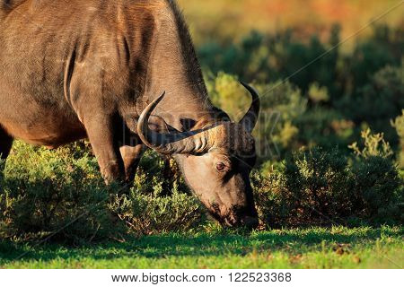 Feeding African or Cape buffalo (Syncerus caffer), South Africa