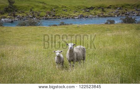 Grazing Sheep In New Zealand