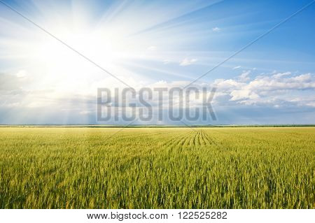 spring landscape - sun in green grass wheat field and blue sky