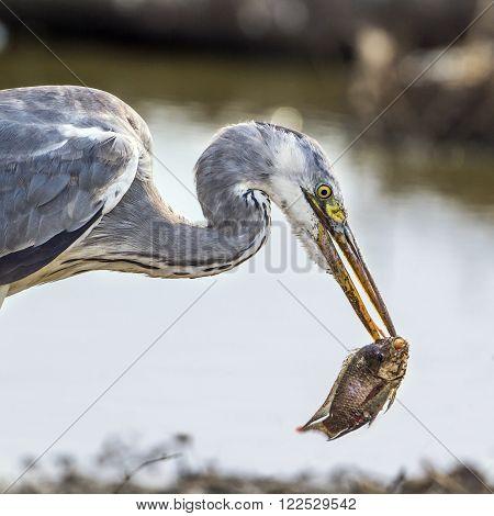 Specie Ardea cinerea family of ardeidae, grey heron fishing in South Africa