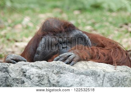 portrait of thoughtful  sad orangutan in summer invironment