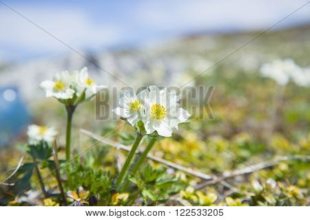 Bush of the beautiful Alpine buttercups. The Bush is a wonderful snowdrops