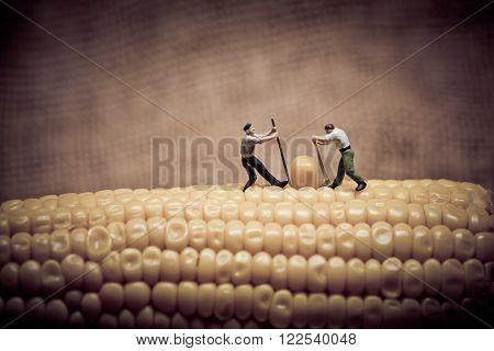 Corn maize harvest. Color tone tuned. Macro photo