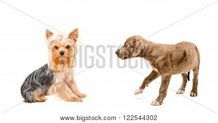Yorkshire terrier and curious puppy Pitbull isolated on white background
