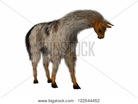 Llama or Lama glama a domesticated South American camelid isolated on White