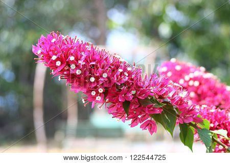 Bush pink bougainvillea flowers protruding from a long line pretty.