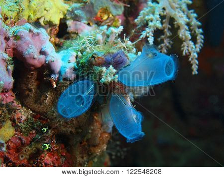 The surprising underwater world of the Bali basin, Island Bali, Pemuteran.  Sea squirts