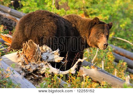 Huge Grizzly Bear