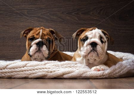 Purebred English bulldog puppies. Puppies are 3 months. Pedigree dogs. They lie on a white knitted rug on the wooden floor. Portraits of elite puppies