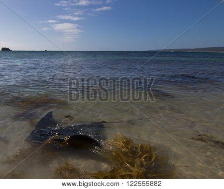Stingrays in Hamelin Bay, Western Australia, Australia