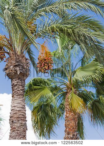 High palm tree with delicious ripe figs on a blue sky background vertically Spain
