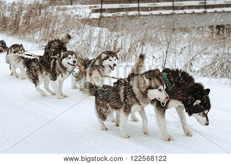 Dog Sledding Race