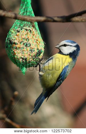 blue titmouse flew to the feeder dish