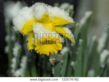Snow on daffodil flower