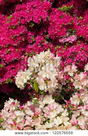 Pink Azalea And White Rhododendron