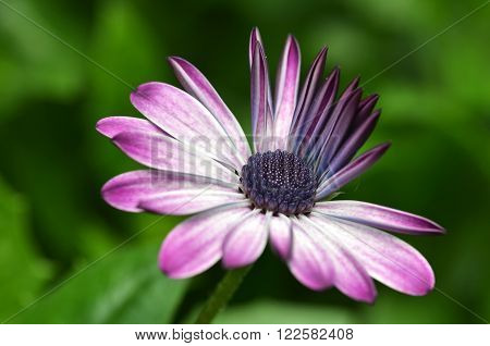 Beautiful Purple Fanfare Flower In A Meadow