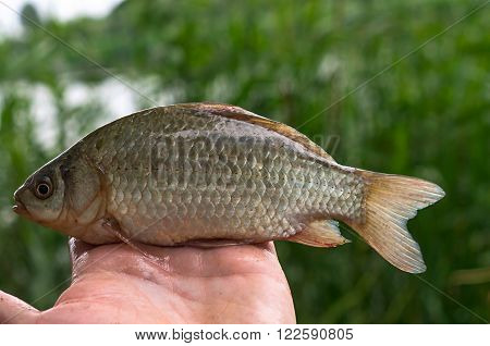 small crucian in hand on the background of reeds