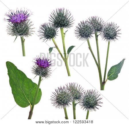 set of greater burdock flowers isolated on white background