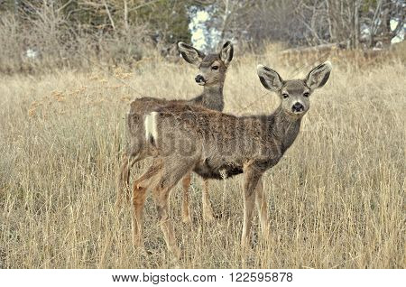 Twin mule deer fawns standing in a field