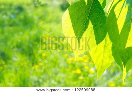 Green poplar leaves on defocused floral background
