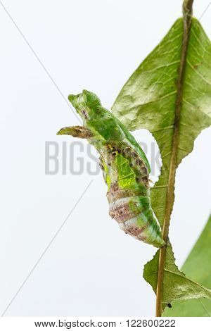 Chrysalis of commander butterfly on leaf moduza procris