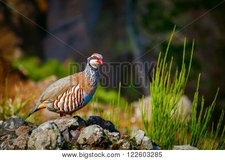 the red-legged partridge - a rotund bird with a light brown back grey breast and buff belly. It has rufous-streaked flanks and red legs