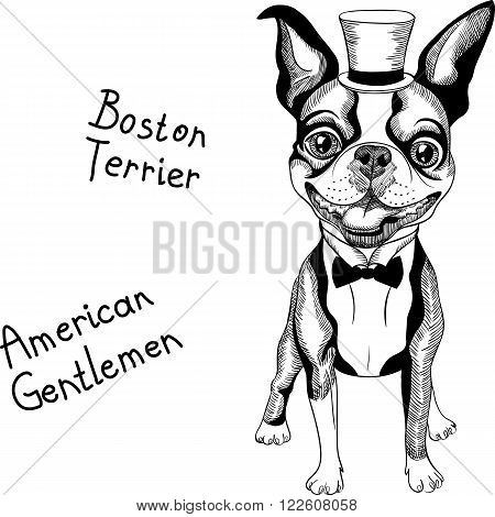 Hipster dog Boston Terrier in top hat and bow tie