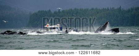 Juneau, Alaska, USA - June 18, 2013:  Humpback whales bubble net feed near a tour boat