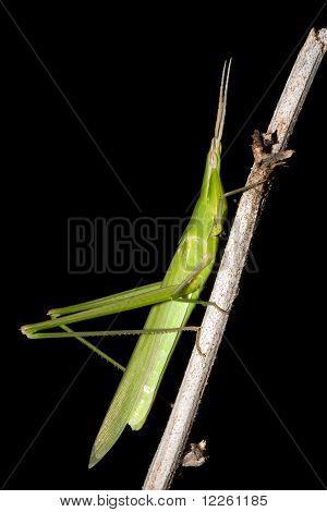 Mediterranean Slant-faced Grasshopper / Acrida ungarica