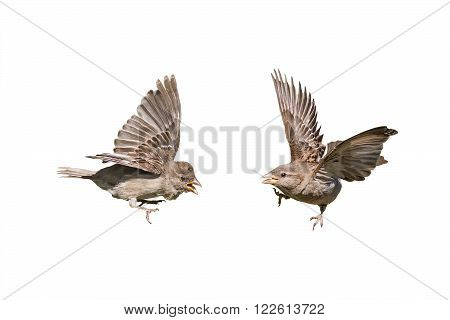 two birds sparrows with outstretched wings on a white background