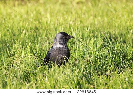 jackdaw black bird standing in green grass