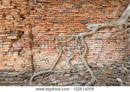 Crack brick wall covered by aged root in Wat Mahathat of Ayutthaya Thailand