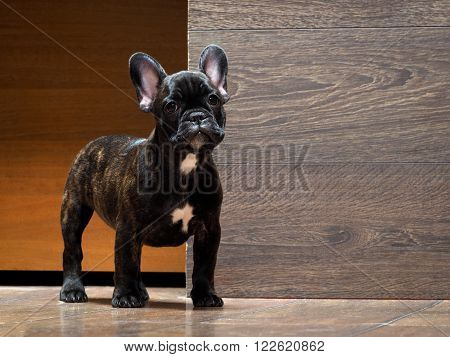 French bulldog puppy. Puppy black. The dog stands at the wooden wall. Thoroughbred elite puppy