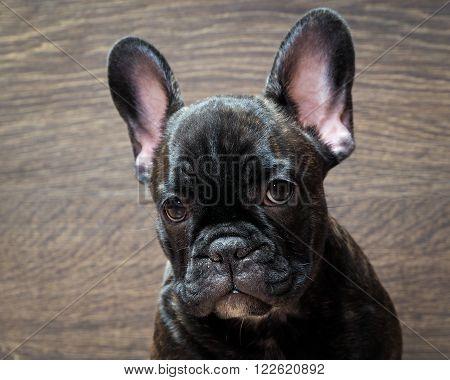 French bulldog puppy. Puppy black. Big dog muzzle. Thoroughbred elite puppy