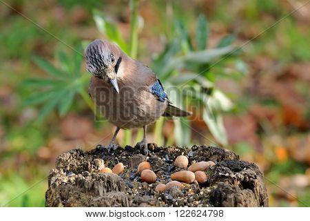 Eurasian jay (Garrulus glandarius) on the stump feeder. Moscow region Russia