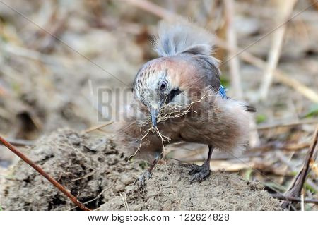Eurasian jay (Garrulus glandarius) collects building material for the nest