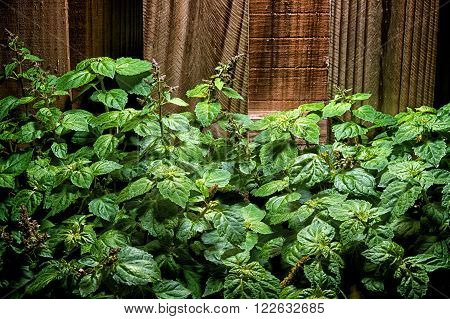 Large Lush Patchouly Plant Against Wood