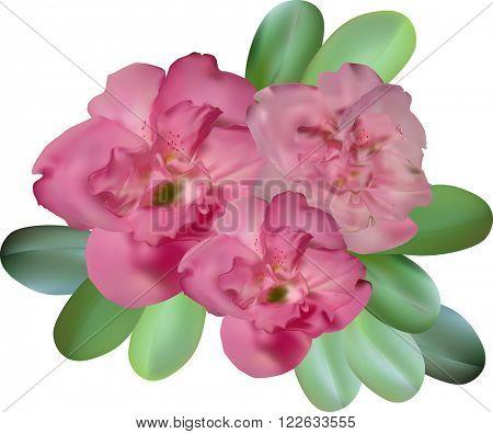 illustration with pink azalea flowers isolated on white background